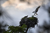 An Osprey brings a fish back to a nest at Loch Insh on June 6 2016 in Kincraig Scotland Ospreys migrate each spring from Africa and nest in tall pine...