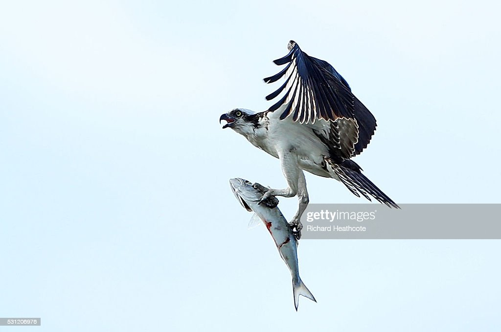 An osprey carries a fish during the second round of THE PLAYERS Championship at the Stadium course at TPC Sawgrass on May 13, 2016 in Ponte Vedra Beach, Florida.