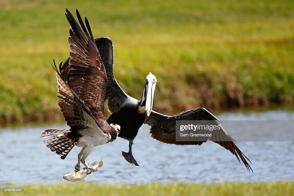 An osprey carrying a fish encounters a pelican on the Copperhead course during the final round of the Valspar Championship at Innisbrook Resort and Golf Club on March 16, 2014 in Palm Harbor, Florida.