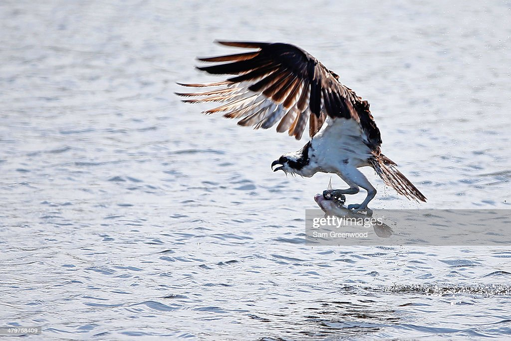 An osprey catches a fish near the sixth hole during the first round of the Arnold Palmer Invitational presented by MasterCard at the Bay Hill Club and Lodge on March 20, 2014 in Orlando, Florida.