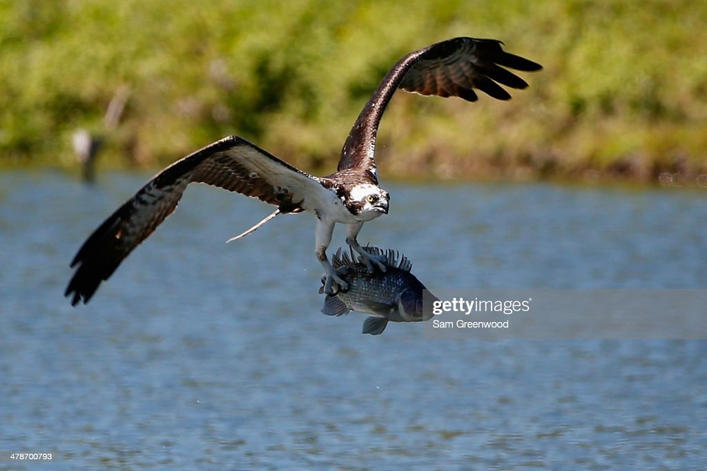 An osprey catches a fish on the Copperhead course during the second round of the Valspar Championship at Innisbrook Resort and Golf Club on March 14, 2014 in Palm Harbor, Florida.