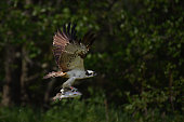 An Osprey catches a Rainbow Trout at Rothiemurchus on June 6 2016 in Kincraig Scotland Ospreys migrate each spring from Africa and nest in tall pine...