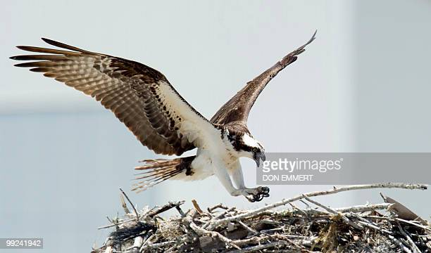 An Osprey comes in for landing on a nest May 13 2010 at NASA's Kennedy Space Center in Cape Canaveral Florida The Osprey have become a common sight...