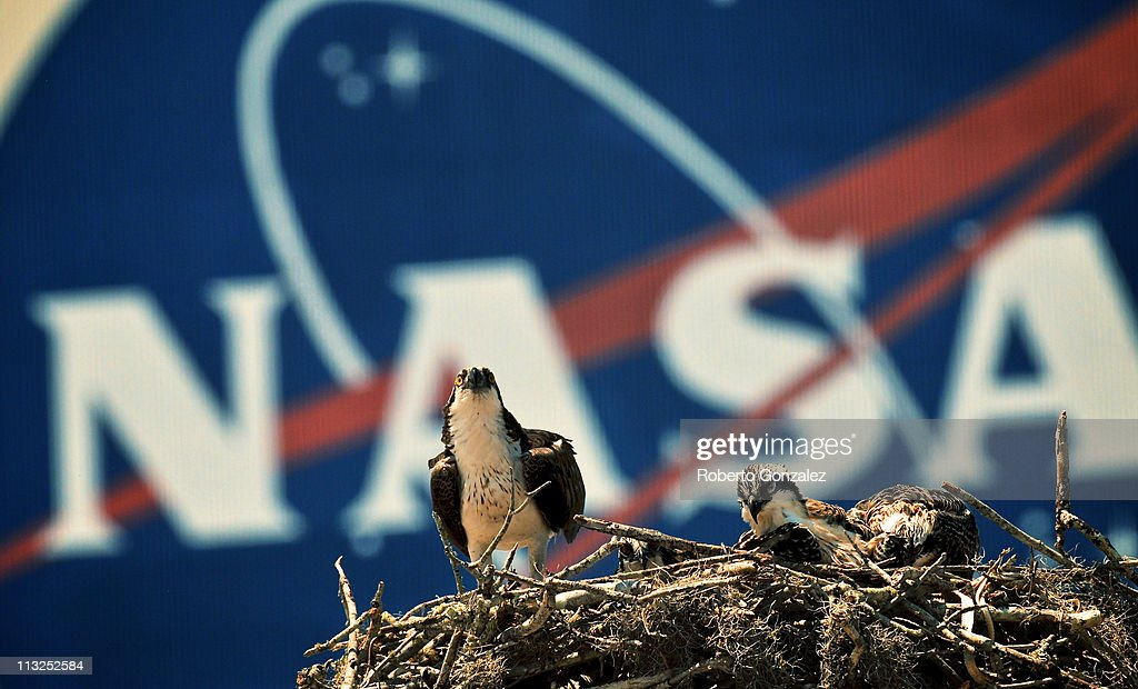 An Osprey eagle with three eaglets sits on their nest in front of the NASA logo on the Vehicle Assembly Building at the John F Kennedy Space Center...