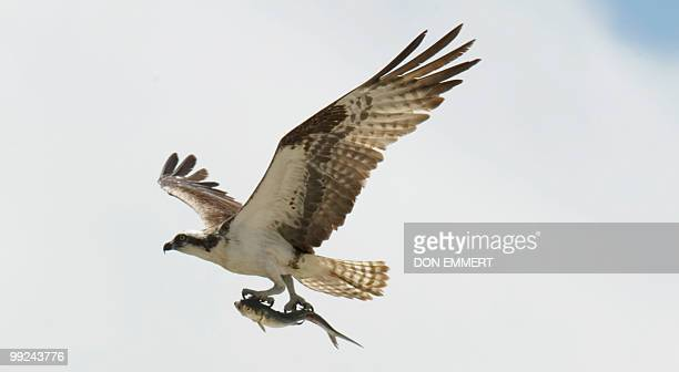 An Osprey flies overhead carrying a fish in its talons May 13 2010 at NASA's Kennedy Space Center in Cape Canaveral Florida The Osprey have become a...