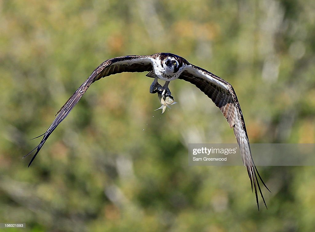 An osprey flies with a fish in its talons during the first round of the Children's Miracle Network Hospitals Classic at the Disney Palm and Magnolia course on November 8, 2012 in Lake Buena Vista, Florida.
