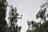 An Osprey returns to a nest at Loch Insh ON June 6 2016 in Kincraig Scotland Ospreys migrate each spring from Africa and nest in tall pine trees...
