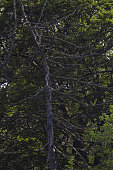An Osprey sits in a tree near a nest area at Loch Insh ON June 6 2016 in Kincraig Scotland Ospreys migrate each spring from Africa and nest in tall...