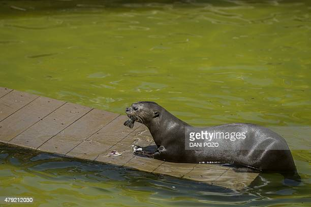 An otter eats frozen a fish on a hot summer day at Madrid's zoo on July 2 2015 Spain is heading for a new heatwave which will last for at least nine...
