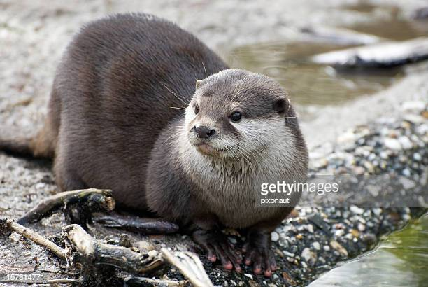 An otter laying down by the water