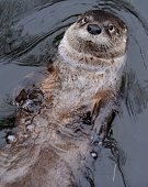 An otter swims in a pool inside his enclosure at the 'ZOOM' Zoo in Gelsenkirchen western Germany on March 12 2012 AFP PHOTO / PATRIK STOLLARZ