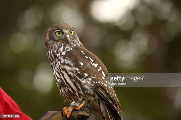 An owl is held during a Full Flight Birds of Prey show as part of the St Ives Medieval Faire on September 24 2017 in Sydney Australia The St Ives...