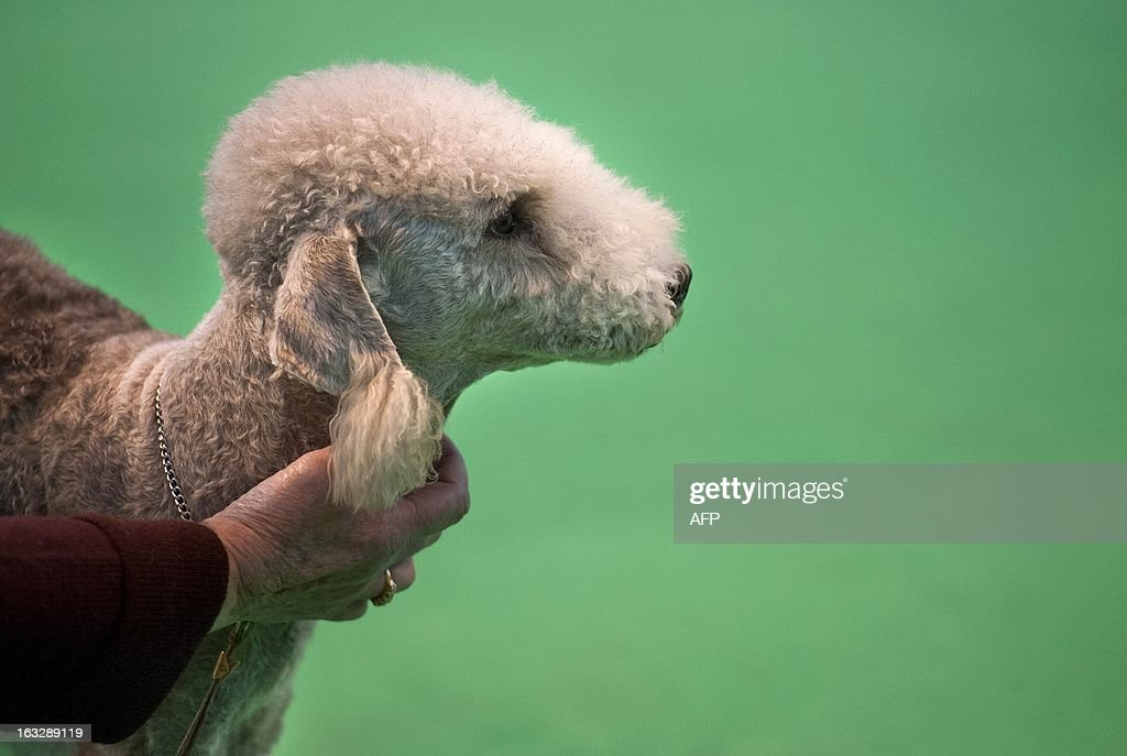 An owner holds his Bedlington Terrier during the first day of the Crufts dog show in Birmingham, in central England on March 7, 2013. The annual event sees dog breeders from around the world compete in a number of competitions with one dog going on to win the 'Best in Show' category.
