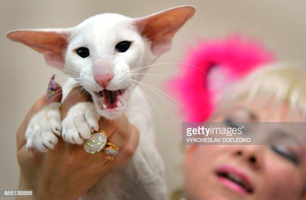 An owner poses with her Oriental Shorthair cat during the International cat exhibition in Bishkek on March 19 2017 / AFP PHOTO / VYACHESLAV OSELEDKO