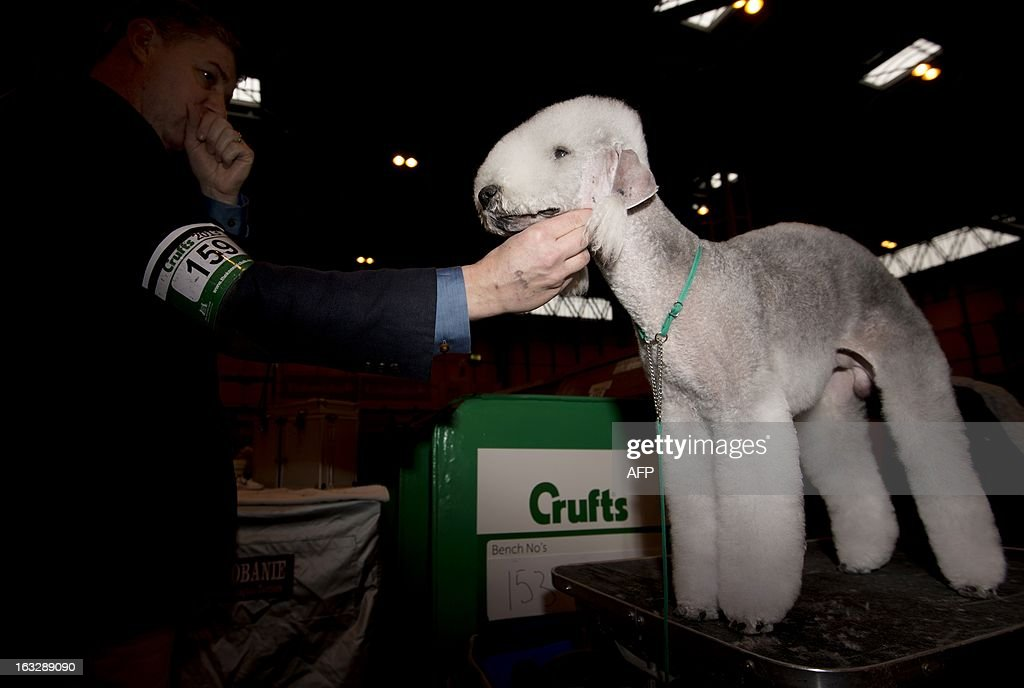 An owner prepares his Bedlington Terrier during the first day of the Crufts dog show in Birmingham, in central England on March 7, 2013. The annual event sees dog breeders from around the world compete in a number of competitions with one dog going on to win the 'Best in Show' category.