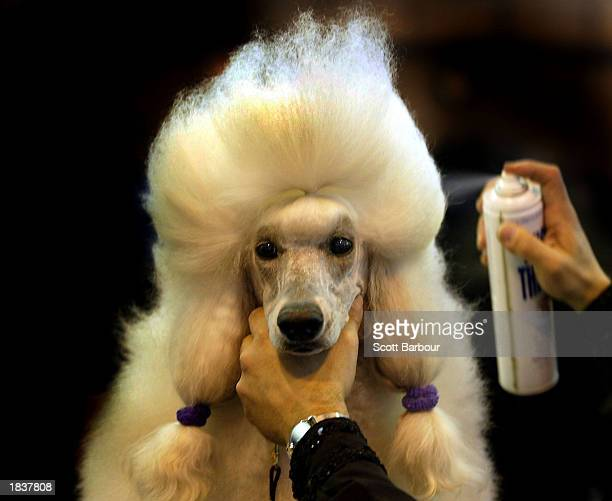 An owner sprays his poodle's hair with hairspray before the Poodle class at Crufts dog show March 9 2003 in Birmingham United Kingdom This year's...
