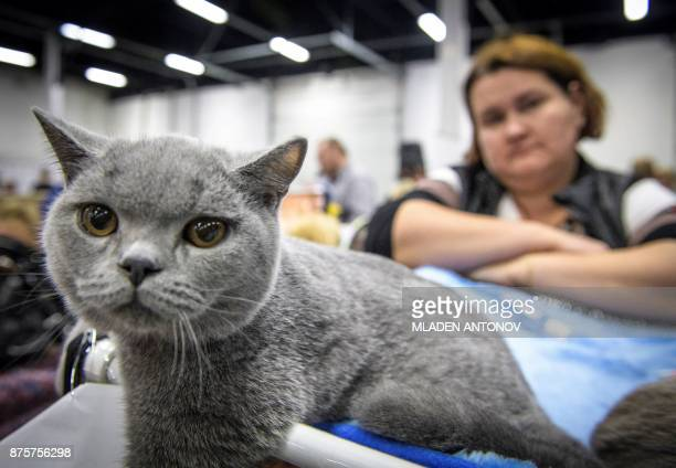 An owner stands by her British shorthair cat during the 'Valencia Cup' international cat exhibition in Moscow on November 18 2017 / AFP PHOTO /...