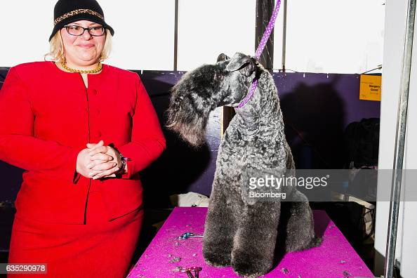 Kerry Blue Terrier Westminster Dog Show
