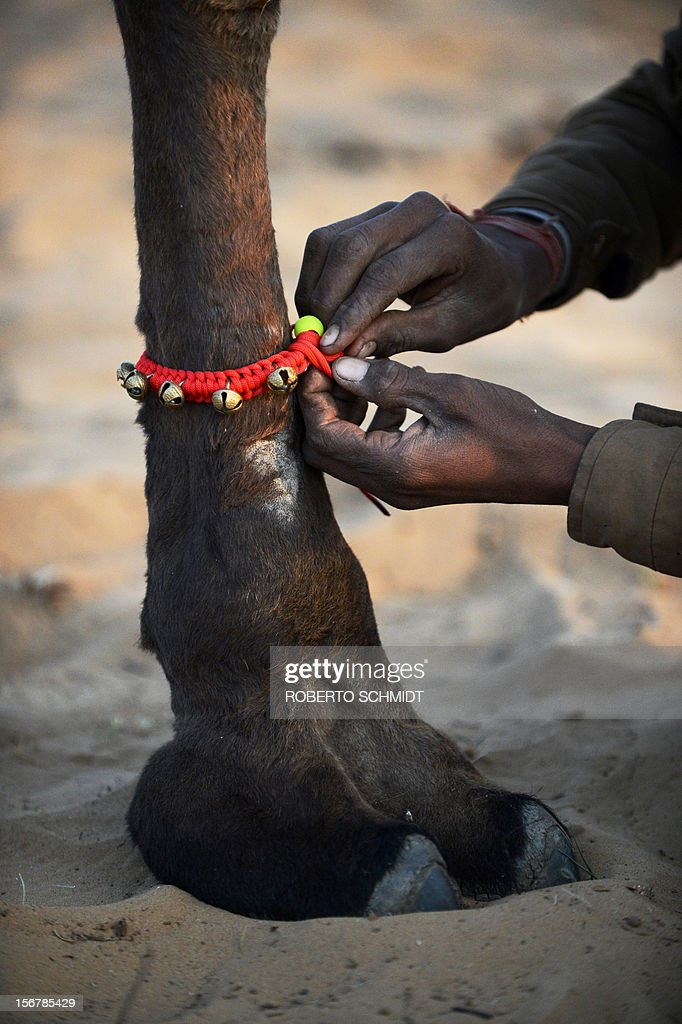 An owner ties a string of bells to the foot of his camel for sale in an effort to make it more appealing at the camel fair grounds in the outskirts of Pushkar on November 21, 2012. The annual five-day camel and livestock fair, held in the town of Pushkar in the state of Rajasthan is one of the world's largest camel fairs, and apart from buying and selling of livestock it has become an important tourist attraction. AFP PHOTO/Roberto Schmidt