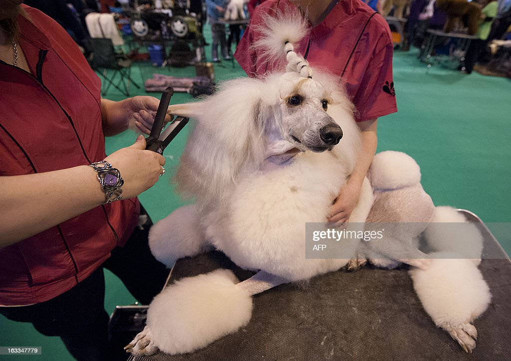 An owner uses hair straighteners whilst grooming her Standard poodle during the second day of the Crufts dog show in Birmingham, in central England on March 8, 2013. The annual event sees dog breeders from around the world compete in a number of competitions with one dog going on to win the 'Best in Show' category. AFP PHOTO / BEN STANSALL