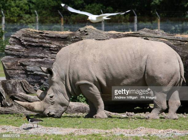 An Oyster catcher bird on its nest in the rhino enclosure at Blair Drummond Safari Park near Stirling is watched by Dorothy the Rhino