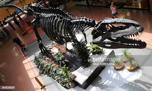 An replica of Abelisaurus Cormabuensis Dinosaur skeleton is displayed in the 'Dinosaurs of the Patagonia' exhibition on February 19 in Medellin...