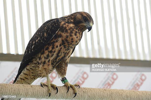 An sparrowhawk in captivity on December 8 2012 in Pinzon Island in the Galapagos archipielago Ecuador The Galapagos National Park is carrying out a...