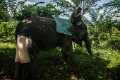 An sumatran elephant walk in captivity elephantPeranggai Village Lahat South Sumatran Indonesia on July 11 2016 Based on data WWF sumatran elephant...