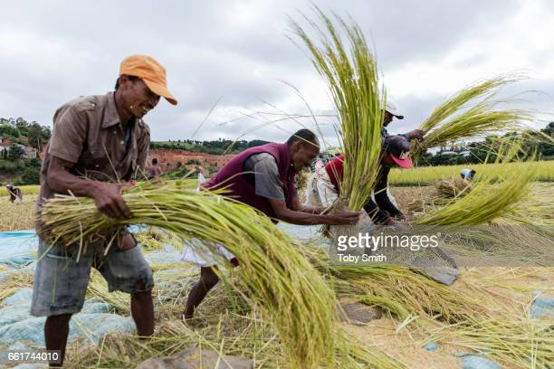 An team of labourers harvest and thresh by hand a more commercial farm near the capital Antanarivo