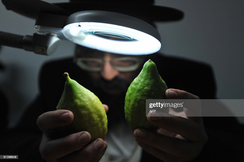 An Ultra Orthodox Jewish man inspect citrons, or etrog in Hebrew, one of the four species which are used during the celebration of Sukkot, the feast of the Tabernacles, in the religious city of Bnei Brak on September 30, 2009. Beside the �etrog�, the three other species are the 'hadass' (myrtle), 'aravah' (willow), and 'lulav' (date palm frond) all of which are used in a waving ritual during Sukkot or the Feast of the Tabernacles. The seven-day holiday of Sukkot recalls the 40 years during which the ancient Israelites wandered the desert living in huts following the exodus from Egypt. The fruit is usually harvested when still green, but to be considered kosher and able to be used in the Sukkot rituals the etrog must show signs of ripening. AFP PHOTO/YEHUDA RAIZNER