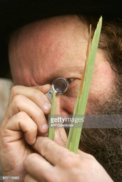 An Ultra Orthodox Jewish man use a magnifying glass to check the Lulav one of four species to be used during the celebration of Sukkoth the feast of...