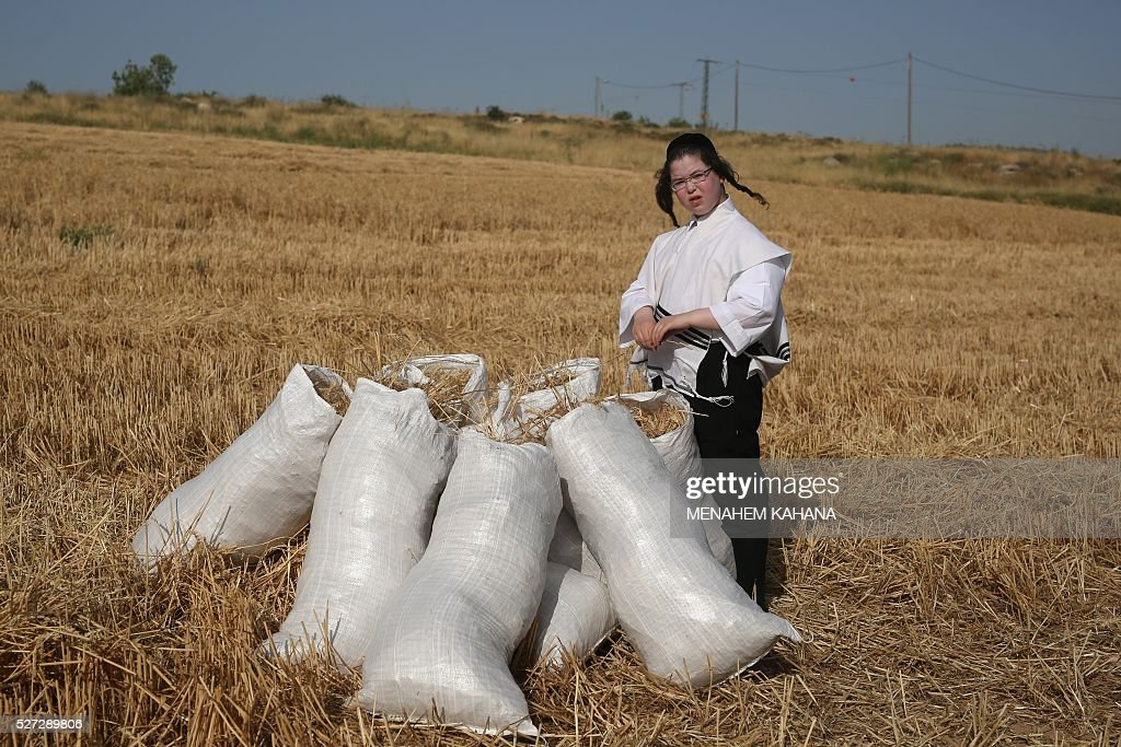 An Ultra-Orthodox Jewish boy stands next to sacks full with wheat after harvesting it using hand sickles in a field near the Mevo Horon settlement in the Israeli occupied West Bank on May 2 2016. The wheat will be stored for almost a year before being used to grind flour in order to make the Matzoth (unleavened bread) for the week-long Passover festival next year. Religious Jews throughout the world eat matzoth during the eight-day Pesach holiday (Passover), which commemorate the Israelites' exodus from Egypt some 3,500 years ago. Due to the haste with which the Jews left Egypt, the bread they had prepared for the journey did not have time to rise. To commemorate their ancestors' plight, religious Jews do not eat leavened food products throughout Passover. / AFP / MENAHEM