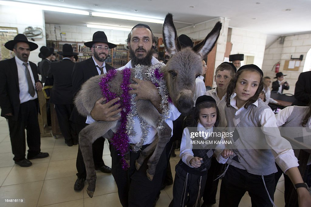 An Ultra-Orthodox Jewish man carries the ritual baby donkey during the 'Redemption of the First Born Donkey' or in Hebrew 'Pidyon Peter Chamor' ceremony in a religious neighborhood of Jerusalem on March 28, 2013. The tradition of the 'Redemption of the First Born Donkey' is part of the 613 laws commemorated in the Jewish Bible. AFP PHOTO/MENAHEM KAHANA