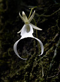 An uncommonly found and endangered twenty year old Ghost Orchid blooms for only the second time in the swamp at Fakahatchee Strand Preserve State...