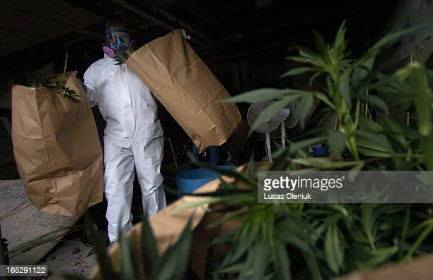 An undercover police officer removes bags of illegal marijuana from 18 Queenscourt Drive Tesday afternoon It is estimated that $500000 worth of...