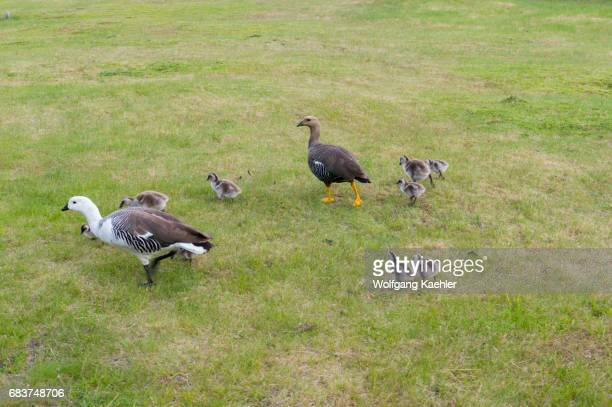 An Upland goose or Magellan Goose family in Torres del Paine National Park in southern Chile