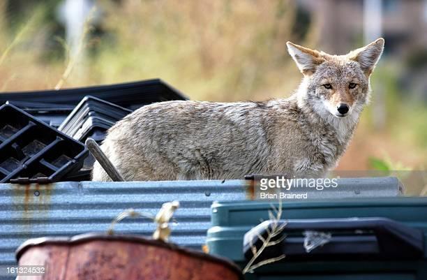 An urban coyote investigates Glasier Farm 9800 E Alameda in Denver