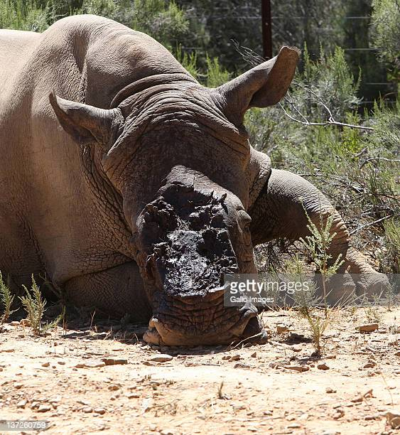 An White Rhino lies injured having had its horn hacked off by poachers on December 14 2011 in Worcester South Africa after a pregnant sixyearold...