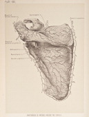 Anastomoses is the reconnection of two streams that previously branched out such as blood vessels 1899 From 'The Treatise of the Human Anatomy and...