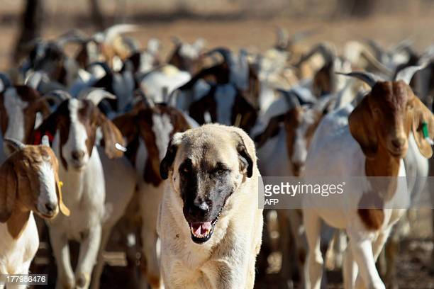 Anatolian Shepherd dog Bonzo leads a herd of goats on Retha Joubert's farm near near Gobabis east of the capital Windhoek on August 15 2013 Fiveyear...