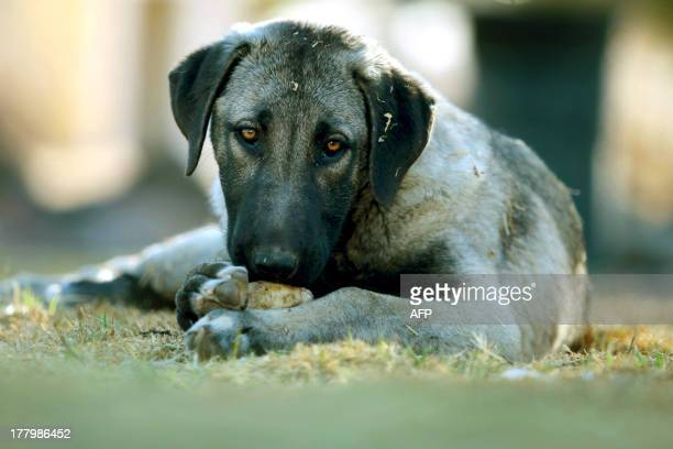Anatolian Shepherd puppy Nussie rests in an enclosure for livestock where she sleeps on Ritha Joubert's farm near Gobabis east of the capital...