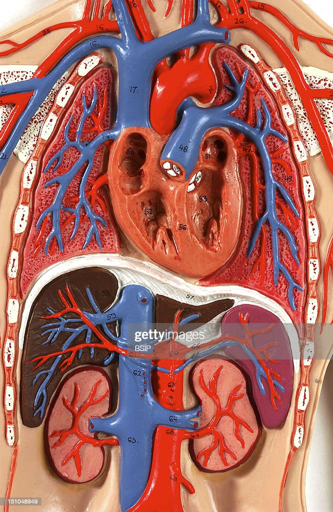 Anatomic Model Of The Blood Circulation Of The Chest Of An Adult Human Body Face On The Pulmonary Circulation Carries The Deoxygenated Blood...