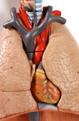Anatomic Model Of The Chest Organs Trachea Lung Heart Of An Adult Human Body Anterior View At The Throat Level The Cartilaginous Rings Of The Trachea...