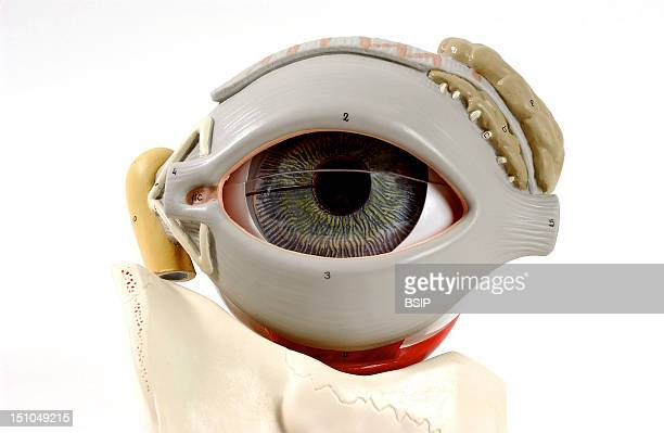 Anatomic Model Of The Human Left Eye Anterior View The Eye Is Enclosed In The Orbit Of Which The Roof Is Composed By The Zygomatic Bone And The...