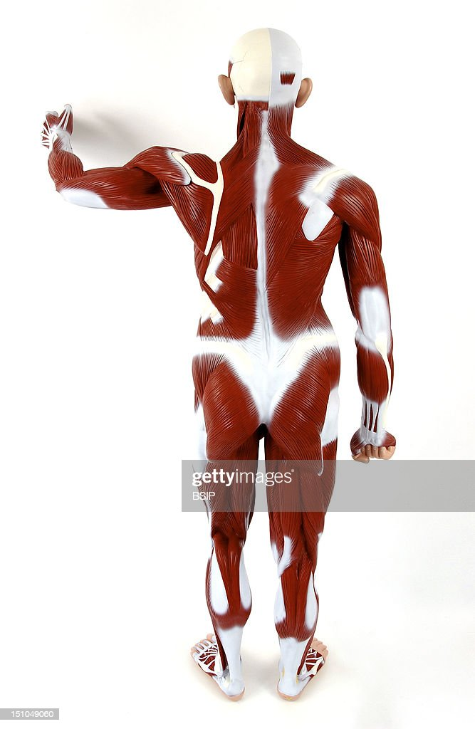 Anatomic Model Of The Muscular System Of An Adult Man From Behind The Main Superficial Skeletal Muscles Are Depicted In Burgundy For The Whole Body...