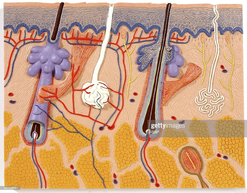 Anatomic Model Of The Skin Frontal Section The Integumentary System Includes The Skin And Its Appendages Hairs Glands Muscles And Nerves Depicted...