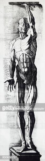 Anatomical chart engraving by Ercole Lelli