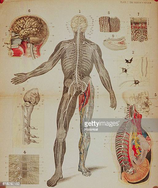 Anatomical diagrams illustrate the human nervous system especially the brain and spinal cord