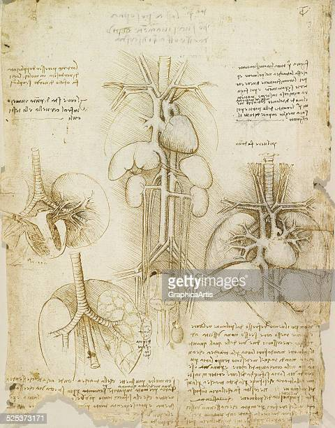 Anatomical drawing of the human heart lungs liver and spleen by Leonardo da Vinci sketch drawn in ink circa 1508 From the Royal Collection London