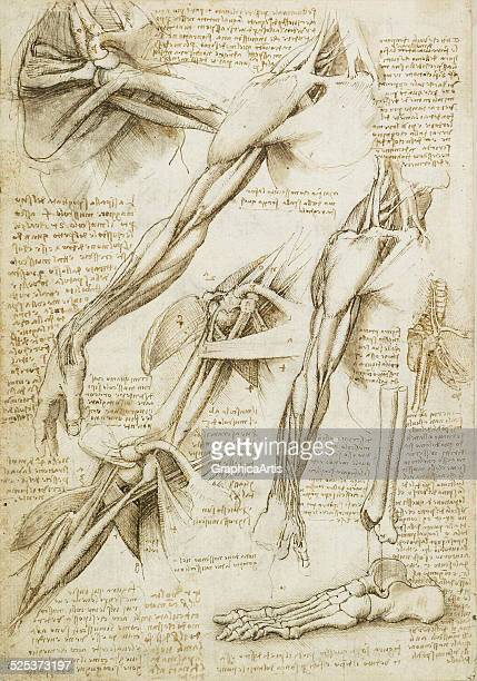Anatomical drawing of the muscles of the shoulder arms and bones of the foot by Leonardo da Vinci sketch drawn in ink circa 151011 From the Royal...